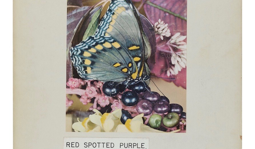1_RED_SPOTTED_PURPLRE_1 22